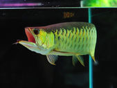 Asian Arowana fish — Foto Stock