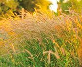 Pirinç alan — Stok fotoğraf