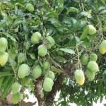Mango tree with green fruits — Stock Photo
