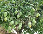 Mango tree with green fruits — Stock Photo