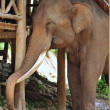 Asian Elephant — Stock Photo #28443383