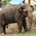 Asian Elephant — Stock Photo #28443745