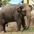 Asian Elephant — Stock Photo #28443745