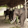Asian Elephant — Stock Photo #28443917