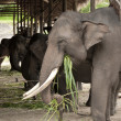 Asian Elephant — Stock Photo #28443983