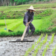 Thai farmer planting on the paddy rice farmland — Stock Photo