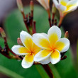 Tropical flowers frangipani (plumeria) — Stock Photo #28445133