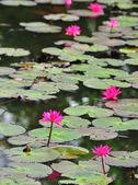 Pink lotus flower blooming at summer — Stock Photo