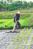 Agriculteur thaïlandais plantation sur les terres de riz paddy — Photo