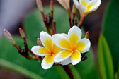 Tropical flowers frangipani (plumeria) — Foto de Stock