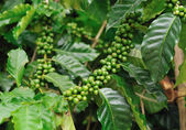 Unripe coffee beans on coffee tree. — Stock Photo