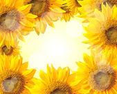 Sunflower nature summer background — Stock Photo
