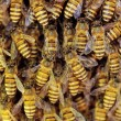 Close up view of the working bees on honeycells. — Stock Photo #28472711