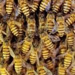 Close-up van de werkende bijen op honeycells — Stockfoto