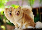 Pomeranian Spitz dog — Stock Photo