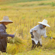 Farmer in field, it's harvest time — 图库照片