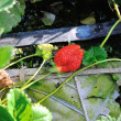 Strawberries growing on the vine — Stock Photo