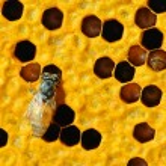 zblízka pohled pracovní včel na honeycells — Stock fotografie