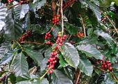 Coffee beans on coffee tree — Stock Photo