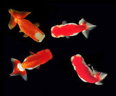 Ranchu Lion Head goldfish on background — Stock Photo
