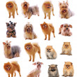 Yorkshire Terrier , Pomeranian Spitz on white background — Stock Photo