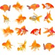 Gold fish. Isolation on the white — Stock Photo #28577307