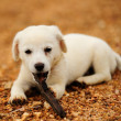 Stock Photo: Puppy dog