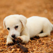 Puppy dog — Stock Photo