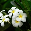 Stock Photo: Frangipani