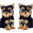 Puppy of the Yorkshire Terrier isolated on the white background — Stock Photo