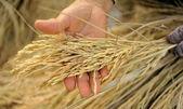 Bonde hand innehav jasmin ris. — Stockfoto