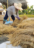 Farmers harvesting rice in rice field in Thailand — Stock Photo