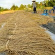 Bundles of rice after the harvest — Stock Photo