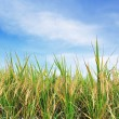 Rice field green grass blue sky  — Stock Photo