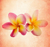Frangipani flower in the old background — Stock Photo