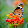Butterfly on orange flower in the garden — Stock Photo #46246691
