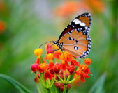Butterfly on orange flower in the garden — Stock Photo