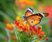 Schmetterling auf orangefarbene blume — Stockfoto