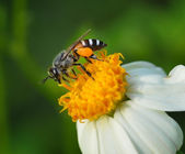Bees on  flower — Stock Photo