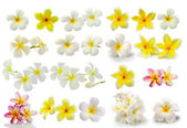 Frangipani flower isolated on white background — Stock Photo