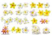 Frangipani flower isolated on white background — Stock Photo
