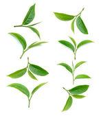 чайный лист на белом фоне — Стоковое фото
