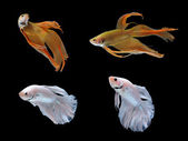 Betta fish isolated on white background — Stock Photo