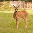 Stock Photo: Small doe