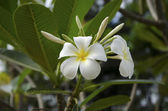 Beautiful white flower in thailand — Stock Photo