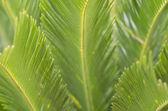 зеленый cycad листья текстуры — Стоковое фото