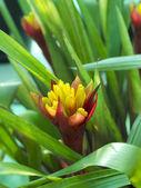 Red Bromeliads — Stock fotografie