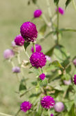 Globe amaranth or Gomphrena globosa flower in the garden — Stock Photo
