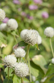 Globe amaranth or Gomphrena globosa flower in the garden — Stock Photo