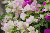 Bougainvillea flowers. — Stock Photo